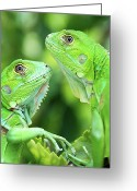 Iguana Greeting Cards - Baby Iguanas Greeting Card by Patti Sullivan Schmidt