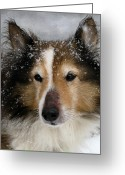 Sheltie Greeting Cards - Baby Its Cold Outside Greeting Card by Colleen Kammerer