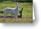 Jackass Foal Greeting Cards - Baby Jack 1 Greeting Card by David Dunham