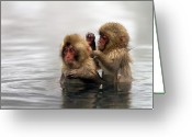 "Two Animals Greeting Cards - Baby Japanese Macaques ""snow Monkeys"" Greeting Card by Oscar Tarneberg"