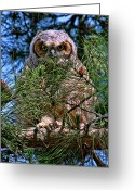 Owl Prints Greeting Cards - Baby Owl Greeting Card by Paul Marto