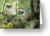 Greaves Greeting Cards - Baby Owls Greeting Card by John  Greaves