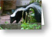 Colorado Creatures Greeting Cards - Baby Skunk Greeting Card by Crystal Garner