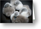 Four Animals Greeting Cards - Baby Swans Greeting Card by Roverguybm