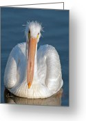 Pelican Photo Greeting Cards - Bad Hair Day Greeting Card by Sally Mitchell