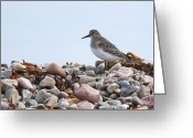 Sandpiper Greeting Cards - Bairds Sandpiper... Greeting Card by Nina Stavlund