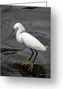 Waterbird Greeting Cards - Balanced Greeting Card by Karen Devonne Douglas