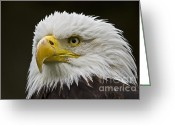 National Bird Greeting Cards - Bald Eagle - 6 Greeting Card by Heiko Koehrer-Wagner