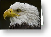 National Bird Greeting Cards - Bald Eagle - 7 Greeting Card by Heiko Koehrer-Wagner