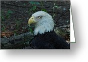 Eagle Prints Greeting Cards - Bald Eagle Greeting Card by Chad and Stacey Hall