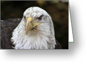 National Bird Greeting Cards - Bald Eagle Closeup Greeting Card by Karol  Livote