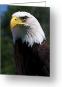 North American Greeting Cards - Bald Eagle Greeting Card by JT Lewis