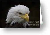 National Bird Greeting Cards - Bald eagle looking for food Greeting Card by Heiko Koehrer-Wagner
