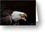 Minnesota Greeting Cards - Bald Eagle Portrait 2 Greeting Card by Laurie With