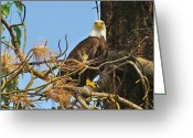 Eagle Prints Greeting Cards - Bald Eagle Portrait View Greeting Card by John  Greaves