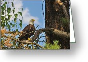 Eagle Prints Greeting Cards - Bald Eagle Profile  Greeting Card by John  Greaves