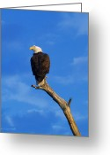 Reelfoot Lake Digital Art Greeting Cards - Bald Eagle Sitting High Greeting Card by J Larry Walker