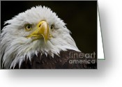 National Bird Greeting Cards - Bald Eagle The American Icon - 2 Greeting Card by Heiko Koehrer-Wagner