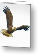 Strength Greeting Cards - Bald Eagle With Fish Greeting Card by William Jobes