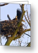 Reelfoot Lake Digital Art Greeting Cards - Bald Eagles In Nest Greeting Card by J Larry Walker