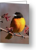 Black Bird Greeting Cards - Baltimore Oriole II Greeting Card by Bruce J Robinson