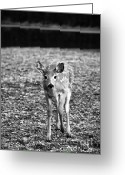 Fawns Greeting Cards - Bambi in Black and White Greeting Card by Sebastian Musial