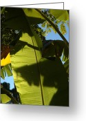 Banana Tree Greeting Cards - Banana Leaf Greeting Card by Kathi Shotwell
