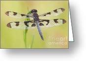 Pennant Greeting Cards - Banded Pennant Dragonfly Greeting Card by Clarence Holmes