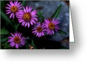 Cream Flowers Greeting Cards - Banff - Alpine Aster Greeting Card by Terry Elniski