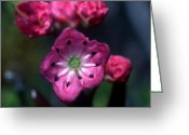 Cream Flowers Greeting Cards - Banff - Alpine Laurel Greeting Card by Terry Elniski