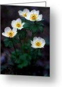Cream Flowers Greeting Cards - Banff - American Globeflower Greeting Card by Terry Elniski