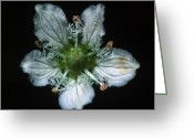 Cream Flowers Greeting Cards - Banff - Fringed Grass Of Parnassus Greeting Card by Terry Elniski