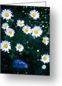 Cream Flowers Greeting Cards - Banff - Oxeye Daisy Greeting Card by Terry Elniski