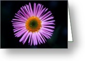 Cream Flowers Greeting Cards - Banff - Showy Fleabane Greeting Card by Terry Elniski