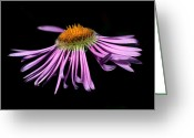 Cream Flowers Greeting Cards - Banff - Streamside Fleabane Greeting Card by Terry Elniski