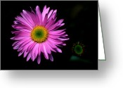 Cream Flowers Greeting Cards - Banff - Subalpine Fleabane Greeting Card by Terry Elniski
