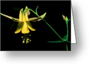 Cream Flowers Greeting Cards - Banff - Yellow Columbine Greeting Card by Terry Elniski