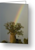 Berenty Private Reserve Greeting Cards - Baobab Adansonia Sp And Rainbow Greeting Card by Pete Oxford