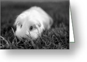 Rire Greeting Cards - Barbie Guinea Pig Greeting Card by Mariola Bitner