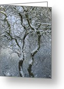 Tree-covered Greeting Cards - Bare, Snow-covered Tree In Winter Greeting Card by Cyril Ruoso