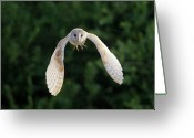 Wild Bird Greeting Cards - Barn Owl Flying Greeting Card by Tony McLean