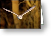 Owl Photography Greeting Cards - Barn Owl In Flight Greeting Card by MarkBridger