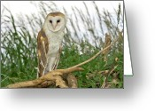 Owl Photography Greeting Cards - Barn Owl Greeting Card by James Steele