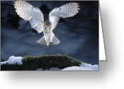 Bird Of Flight Greeting Cards - Barn Owl Landing Greeting Card by Manfred Danegger and Photo Researchers