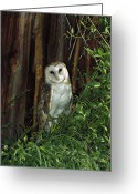 Owl Photography Greeting Cards - Barn Owl Tyto Alba Portrait, North Greeting Card by Konrad Wothe