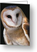 Owl Photography Greeting Cards - Barn Owl Tyto Alba Portrait, Worldwide Greeting Card by Gerry Ellis