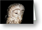 Barred Owl Greeting Cards - Barred Owl Greeting Card by Bill  Wakeley