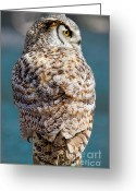Barred Owl Greeting Cards - Barred Owl Greeting Card by David  Naman