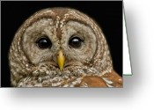 Barred Owl Greeting Cards - Barred Owl Fledgling Greeting Card by Larry Linton