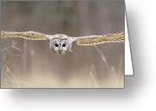 Barred Owl Greeting Cards - Barred Owl in Flight Greeting Card by Scott  Linstead